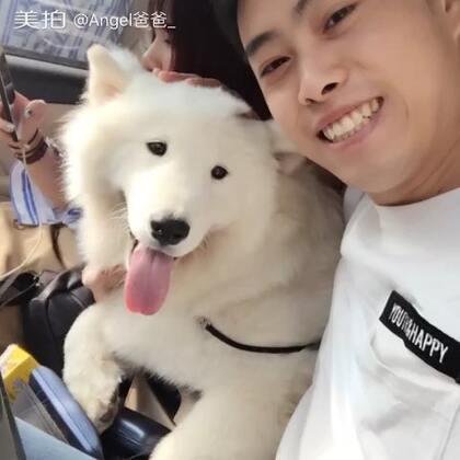 今天安格就要回老家接受犬展赛前训练了,过几个月再接你回家,拍些照片留个纪念…更多照片在微博#宠物##萨摩耶#