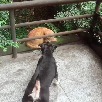 哎,我家这只怂狗#雪纳瑞##宠物#
