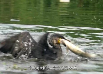 实拍雄安区最后养鹰人, 无鱼可捕靠给游客拍照为生, 将面临失传#二更视频##牛人##我要上热门#