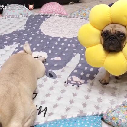 太阳花系列哈哈哈哈🤣🤣🤣 另外要强调下,我不卖狗,也没有狗卖!谢谢喜欢超人它们的朋友🙆🙆