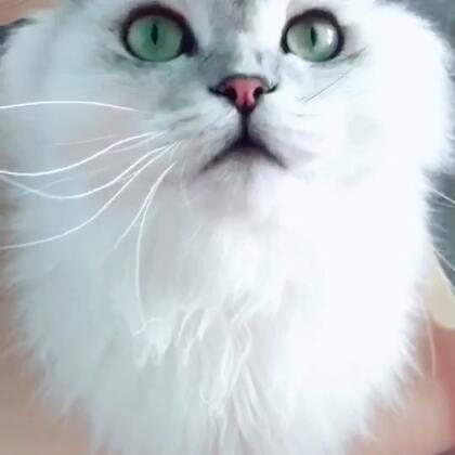 #宠物##高地折耳猫##诺诺日常##库存#天热折耳就会立起来
