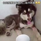 #宠物##搞笑视频# 如何防止二哈拆家😂