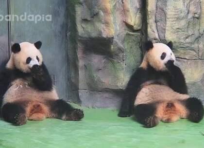 #也就才看二十遍#当熊猫突然意识到同伴和自己长得一模一样会有怎样的反应?