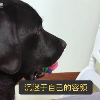 #宠物#家里来了哈士奇,黑豆照照镜子:嗯,还是觉得自己最帅。