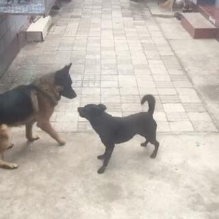 #宠物# 有很久黑子没有跟穆勒哥哥这么玩了 穆勒哥哥很开心哦!😸😸😸