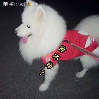 日常遛狗!#萨摩耶##宠物#