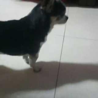#宠物#不知道小汤圆的狗怎么样了