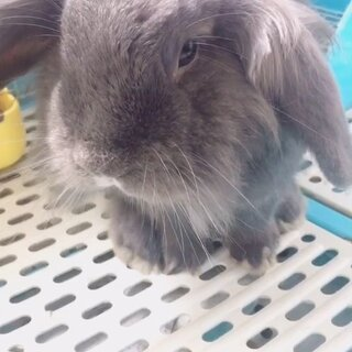 分享一只随便可以随便蹂躏的宝宝😘😘😘#宠物兔子##宠物#