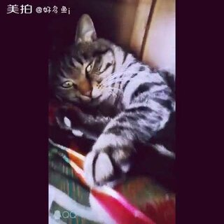 #宠物##老虎##喵星人#我养了一只老虎,🐯