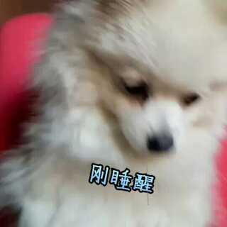 #宠物##宠物狗狗#@小冰 @美拍小助手 今天我生日,然后我收到的礼物过两天发大家看😍😘
