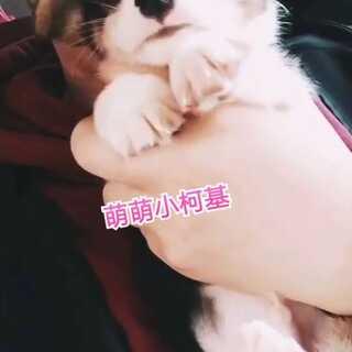 #宠物##柯基#https://weidian.com/?userid=167786124&wfr=wx_profile