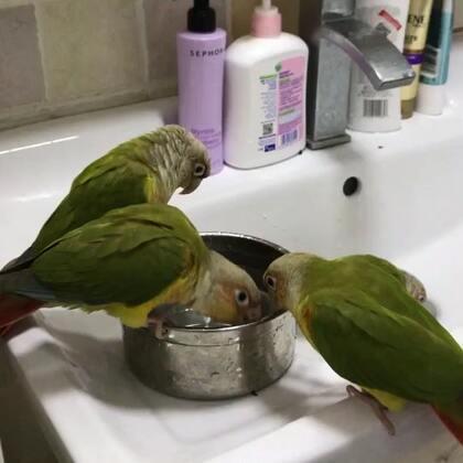 最近天冷,一直没给洗澡,今天看见我接水,几只凑过去自己要洗澡澡。#宠物##我的宠物萌萌哒##小太阳鹦鹉小哥哥和妹妹#