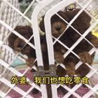 #汪星人##宠物#看到自己的粑粑麻麻在吃好吃的,小3只急死了😂😂😂http://item.taobao.com/item.htm?id=528395791953 莎拉麻麻手工狗零食