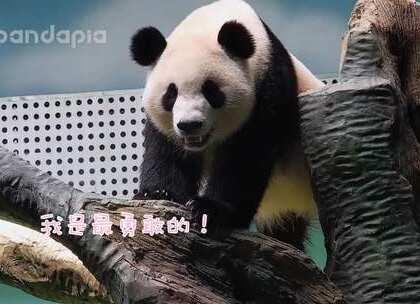 #萌团子日常# 你们说熊猫会有恐高症吗?😃