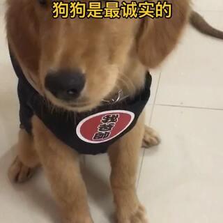 #金毛##狗狗##宠物#