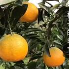 #美食##旅行#这是一个记录视频,今天去亲戚家摘了一些橘子和柿子,黄澄澄的特别漂亮……树上熟的柿子很甜,听她们说的吃了柿子喝牛奶容易中毒,不知道真假……#我要上热门@美拍小助手#
