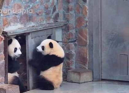 #大话熊猫##萌团子陪你过周末#欢迎收看全球首档大型亲子类真熊秀节目《妈咪弄啥勒》😉