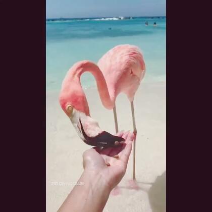 #火烈鸟##旅行#千里迢迢来加勒比海喂火烈鸟