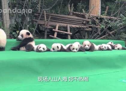 #萌团子陪你过周末##大话熊猫#每期一奶爸/奶妈,这期他们又有什么故事?😉