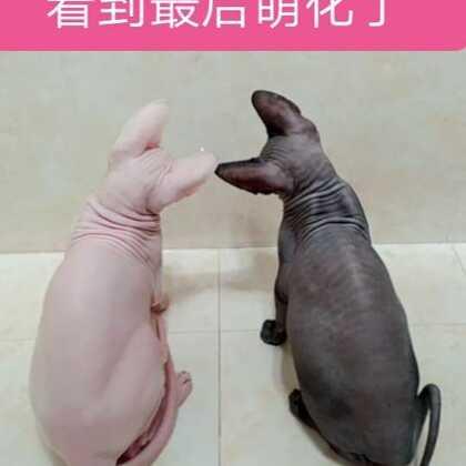 #搞笑#两个小可爱发现了卫生间的浴霸估计以为是太阳,死活不出来😂#panama##我要上热门@美拍小助手# 喜欢无毛猫的可以加v交流呀:609796080