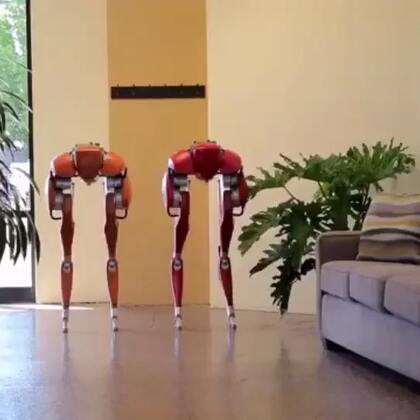 美国Agility Robotics公司的两个机器人在办公室秀恩爱,一起散散步!#玩转科技#