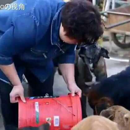 感动!❤大妈20年来收养了近1000只流浪狗,无数次搭救被送往屠宰场的狗狗。或许不被很多人理解,但对她来说,这些狗就是精神支柱,是她的孩子。。愿所有的好人都被世界温柔以待!❤