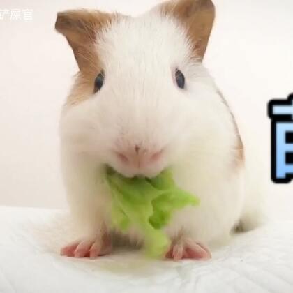 #荷兰猪##宠物#吃生菜的午后