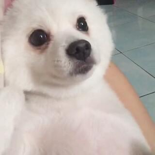 这反应真可爱😍 #crystal王雪晶##宠物##宠物狗狗##宠物生活#