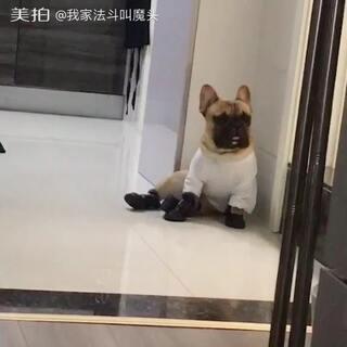 #宠物穿鞋大挑战#穿上小鞋子不会走路了 坐地板上一脸茫然的开始怀疑狗生这是怎么了😂