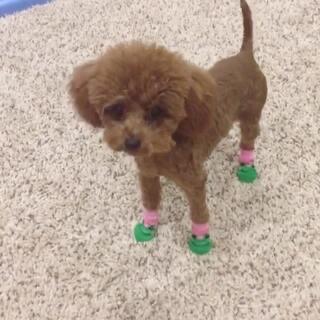 #宠物穿鞋大挑战#幸亏是袜子,健步如飞✈️