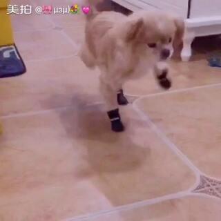 #宠物穿鞋大挑战#不给吃的我不走🤣🤣🤣