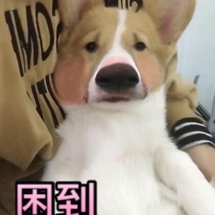 噗哈哈,快被我玩坏了哈哈哈哈哈哈哈哈哈哈哈,一度想睡觉得不行~🙈#宠物##♫#搞笑宠物##代表月亮消灭你#