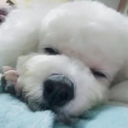 #宠物##汪星人##我的宠物萌萌哒#西瓜打着鼾给大家说晚安啦😘😘