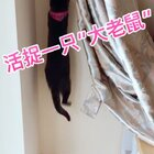 🙂🙂活捉一只大老鼠想偷窗帘珠子🤔怎么办 挺急的 在线等#宠物##俩喵欢乐多##15秒萌宠运动#