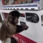 #囧囧趣闻#聪明的小猴子,竟然会自己拿钱到自助贩卖机去买果汁...买完了还记得把剩下的零钱还给主人,厉害了我的猴儿~~