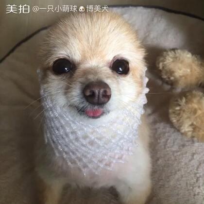一只小海豹来袭😄😄#萌宠##萌萌哒的小狗狗##俊介君#