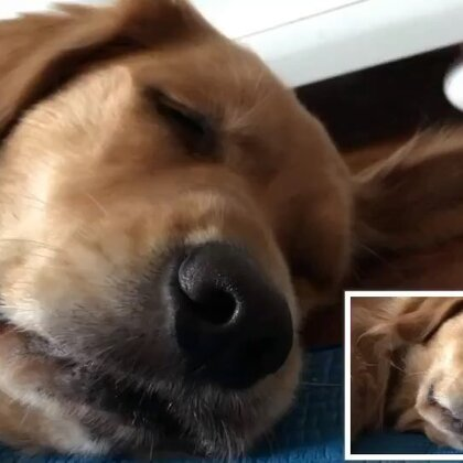 面对面睡觉,我却不敢笑,憋出内伤了已经!😄#宠物##汪星人#https://weidian.com/s/407411435?wfr=c&ifr=shopdetail😘#金毛#