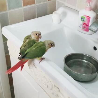 哥哥妹妹和它们的两个鸟宝宝。#宠物##我的宠物萌萌哒##小太阳鹦鹉小哥哥和妹妹#