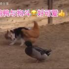 鸡鸭与狗斗😂好可爱👍#精美电影##宠物#