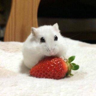 萌萌哒的小仓鼠