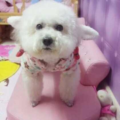 #宠物##宠物狗狗#沫沫变身小白兔啦!看来我也要买兔兔装了😂😂尹家仙女们说好吗?点赞是一种美德哦😘😘😘