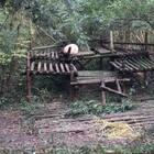 在成都看#熊猫#挠脚底心