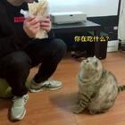 呆萌是一只贪吃,但又很要面子的猫,每次想要吃的,都会纠结一下哈哈哈哈