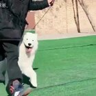 大家都想安格了吧!这是安格在老家的日常训练!#精选##宠物##萨摩耶#