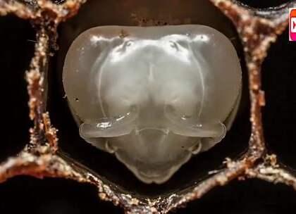 耗时21天,国家地理用高清摄像机记录下了蜜蜂是如何孵化的!