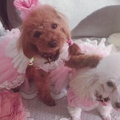 #汪星人#美美告状说姐姐安妮把衣服咬坏了!小公主们大家猜猜是谁咬坏的😃😂快来抢沙发🛋️😙