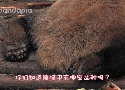 #萌团子陪你过周末#今天终于见到了传说中的巧克力夹心熊猫了!😍