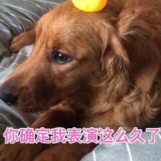 小巴迪会吹小鸭子歌了,哈哈😄。#U乐国际娱乐##宠物##宠物才艺秀#