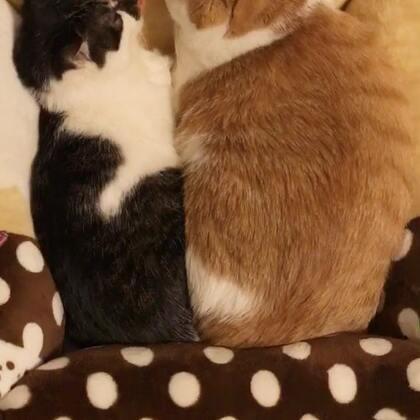 感情好就可以共享一个窝窝。感情不好的,例如调皮的弟弟,估计一脚就踹飞了😁😁#宠物##喵星人#