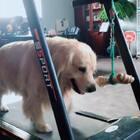 哎呦我去,给你挂个骨头让你跑步有点动力,你丫拿着跑啥意思#宠物##运动#